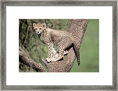 Cheetah Cub Acinonyx Jubatus Climbing Framed Print by Panoramic Images