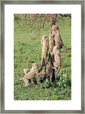 Cheetah Cubs Acinonyx Jubatus Climbing Framed Print by Panoramic Images