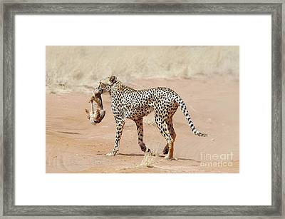 Cheetah With A Rabbit Framed Print by PhotoStock-Israel