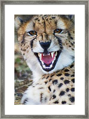 Cheetah With Attitude Framed Print