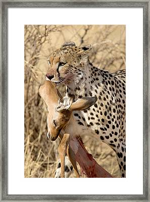 Cheetahs Acinonyx Jubatus And Prey Framed Print