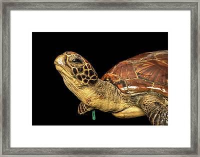 Chelonia Mydas Framed Print