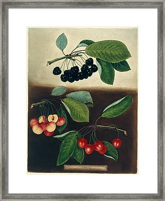 Cherries Framed Print by British Library