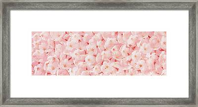 Cherry Blossom Framed Print by Panoramic Images