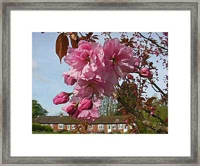 Cherry Blossom Spring Framed Print