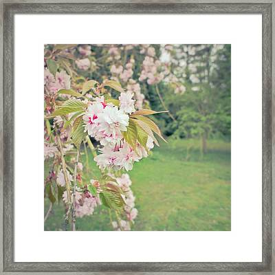 Cherry Blossom Framed Print by Tom Gowanlock