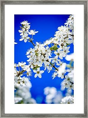 Cherry Blossom With Blue Sky Framed Print by Raimond Klavins