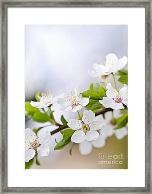 Cherry Blossoms Framed Print by Elena Elisseeva