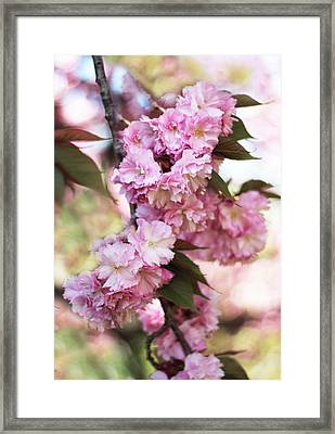 Cherry Blossoms Framed Print by Jessica Jenney