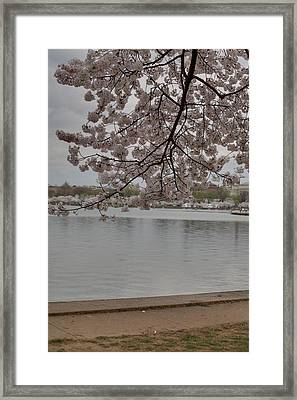 Cherry Blossoms - Washington Dc - 011336 Framed Print by DC Photographer