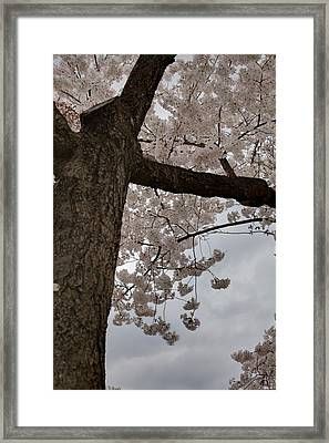Cherry Blossoms - Washington Dc - 011340 Framed Print