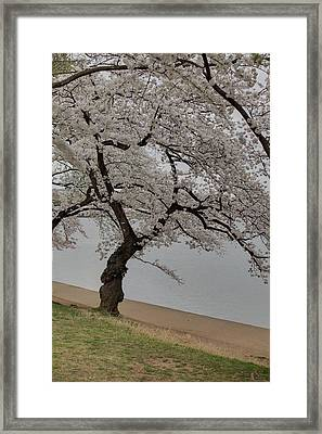 Cherry Blossoms - Washington Dc - 011343 Framed Print by DC Photographer