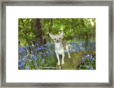 Chihuahua In Bluebells Framed Print