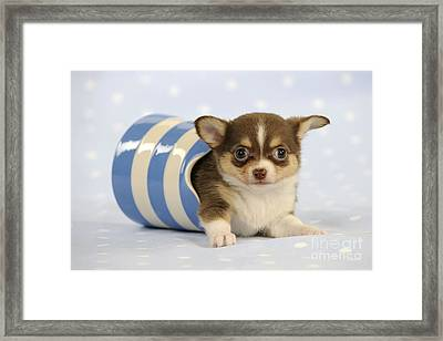 Chihuahua Puppy Dog Framed Print by John Daniels