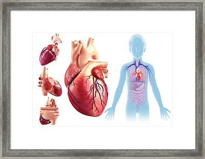 Child's Heart Anatomy Framed Print by Pixologicstudio/science Photo Library