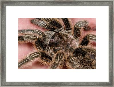 Chilean Rose Tarantula Close-up Framed Print