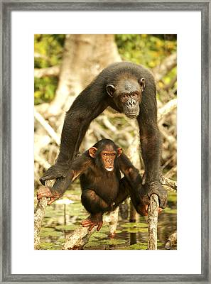 Chimpanzee Adult With Young Framed Print
