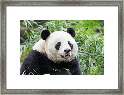 China, Sichuan Province, Chengdu, Giant Framed Print by Paul Souders