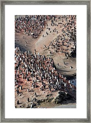 Chinstrap Penguin Colony Framed Print by William Ervin/science Photo Library