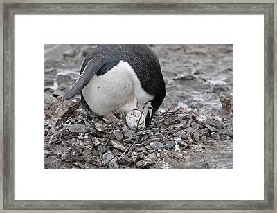 Chinstrap Penguin With Egg Framed Print
