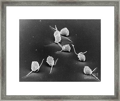 Chlamydomonas, Sem Framed Print by David M. Phillips