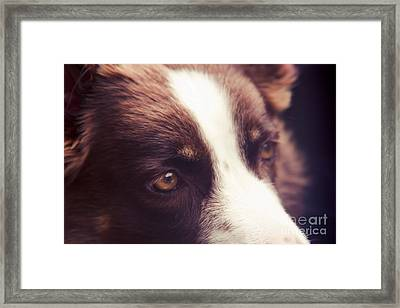 Chocolate Border Collie Framed Print by Sharon Mau