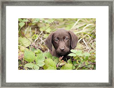 Chocolate Labrador Puppy Framed Print