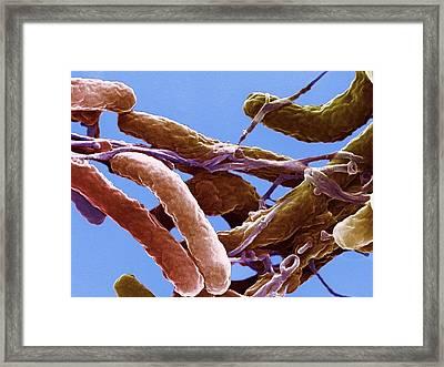 Cholera Bacteria Framed Print by Ami Images