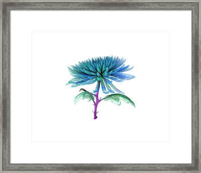 Chrysanthemum Framed Print by Dan Sykes/natural History Museum, London