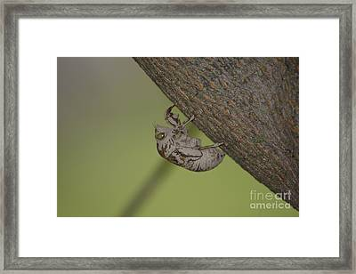 Framed Print featuring the photograph Cicada by Randy Bodkins