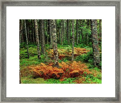 Cinnamon Ferns And Red Spruce Trees Framed Print