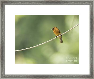 Cinnamon Flycatcher Framed Print