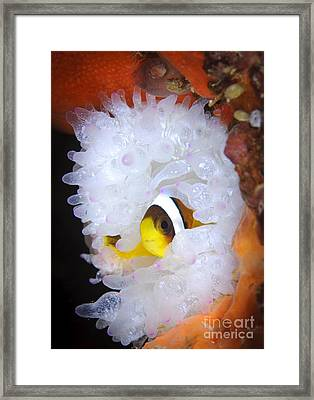 Clarks Anemonefish In White Anemone Framed Print by Steve Jones