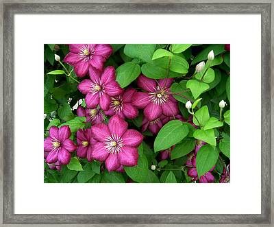Clematis Framed Print by Penny Lisowski