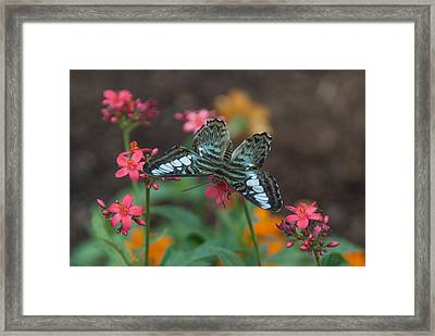 Clipper Butterfly 6150-052513-1cr Framed Print
