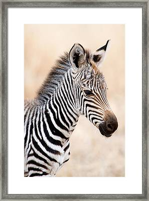 Close-up Of A Burchells Zebra Equus Framed Print by Panoramic Images