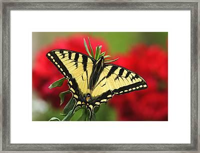 Close Up Of A Canadian Tiger Framed Print