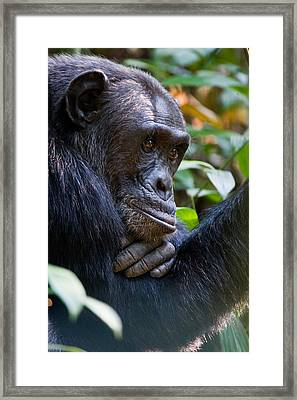 Close-up Of A Chimpanzee Pan Framed Print by Panoramic Images