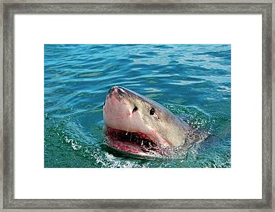 Close Up Of A Great White Shark Framed Print