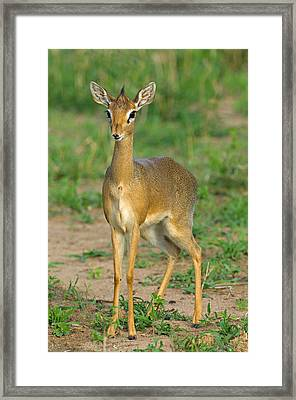 Close-up Of A Kirks Dik-dik, Tarangire Framed Print by Panoramic Images
