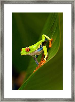 Close-up Of A Red-eyed Tree Frog Framed Print by Panoramic Images