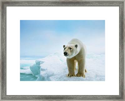 Close Up Of A Standing Polar Bear Framed Print by Peter J. Raymond