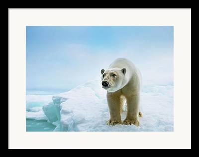 Polar Bears Photographs Framed Prints