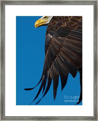 Framed Print featuring the photograph Close-up Of An American Bald Eagle In Flight by Nick  Biemans