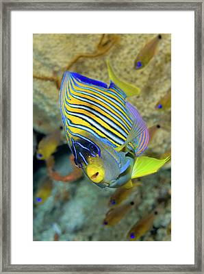 Close-up Of Angelfish (pterophyllum Framed Print by Jaynes Gallery