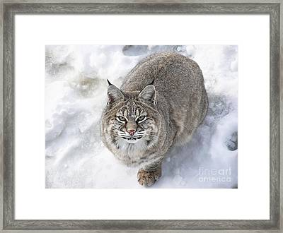 Close-up Of Bobcat Lynx Looking At Camera Framed Print by Sylvie Bouchard