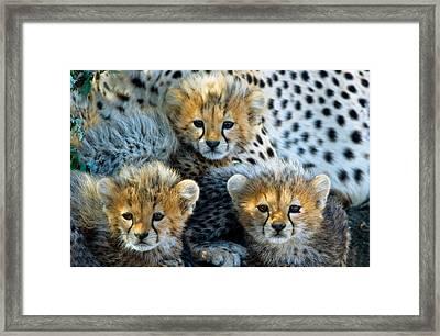Close-up Of Cheetah Acinonyx Jubatus Framed Print by Panoramic Images