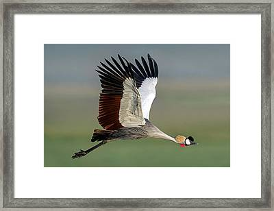 Close-up Of Grey Crowned Crane Framed Print by Panoramic Images
