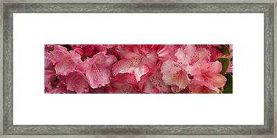 Close-up Of Pink Rhododendron Flowers Framed Print