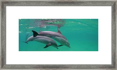 Close-up Of Two Bottle-nosed Dolphins Framed Print by Panoramic Images